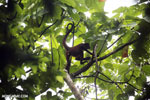 Spider monkey [costa_rica_osa_0197]