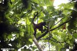 Spider monkey [costa_rica_osa_0197]