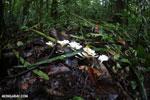 White fungi [costa_rica_osa_0199]