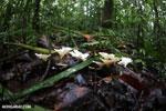 White fungi [costa_rica_osa_0201]