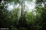 Rainforest tree [costa_rica_osa_0202]