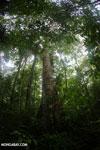 Rainforest tree [costa_rica_osa_0204]