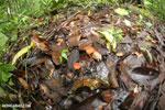 Red cup fungi (Cookeina speciosa) [costa_rica_osa_0205]