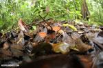 Red cup fungi (Cookeina speciosa) [costa_rica_osa_0206]