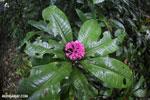 Magenta flowers [costa_rica_osa_0209]