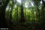 Costa Rican rainforest [costa_rica_osa_0231]