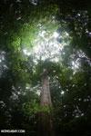 Giant rainforest tree [costa_rica_osa_0245]