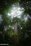 Giant rainforest tree [costa_rica_osa_0250]