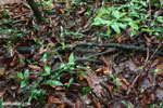 Boa constrictor camouflaged among leaves on the forest floor [costa_rica_osa_0261]