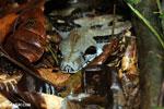 Boa constrictor in Costa Rica