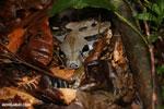 Boa constrictor in Costa Rica [costa_rica_osa_0266]