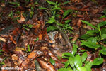 Boa constrictor camouflaged among leaves on the forest floor [costa_rica_osa_0269]