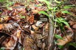 Boa constrictor hidden among leaves on the forest floor [costa_rica_osa_0272]