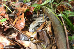 Boa constrictor hidden among leaves on the forest floor in Costa Rica [costa_rica_osa_0274]