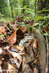 Boa constrictor camouflaged among leaves on the forest floor in Costa Rica [costa_rica_osa_0275]