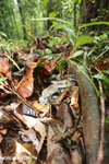 Boa constrictor hidden among leaves on the forest floor [costa_rica_osa_0276]