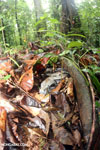 Boa constrictor hidden among leaves on the forest floor in Costa Rica [costa_rica_osa_0278]