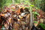 Boa constrictor camouflaged among leaves on the forest floor in Costa Rica