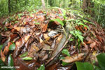 Boa constrictor hidden among leaves on the forest floor [costa_rica_osa_0280]