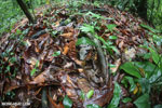 Boa constrictor hidden among leaves on the forest floor [costa_rica_osa_0284]