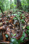 Boa constrictor hidden among leaves on the forest floor [costa_rica_osa_0288]
