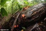 Red cup mushrooms (Cookeina speciosa) [costa_rica_osa_0296]