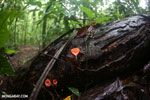 Red cup mushrooms (Cookeina speciosa) [costa_rica_osa_0300]