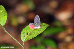 Transparent-winged butterfly in Costa Rica (Greta oto)