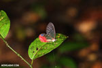 Transparent butterfly in Costa Rica (Greta oto)