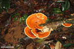 Orange fungi [costa_rica_osa_0323]