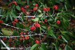 Red berries [costa_rica_osa_0325]