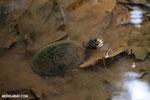 Freshwater turtle in Costa Rica [costa_rica_osa_0328]