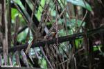 Male green kingfisher [costa_rica_osa_0332]