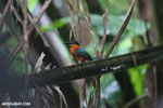 Male green kingfisher [costa_rica_osa_0341]