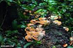 Rust-colored fungi [costa_rica_osa_0349]