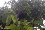 Mantled Howler Monkey [costa_rica_osa_0365]