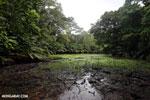 Freshwater swamp in Costa Rica [costa_rica_osa_0372]