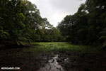 Freshwater swamp in Costa Rica [costa_rica_osa_0376]