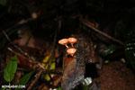 Mushrooms [costa_rica_osa_0383]
