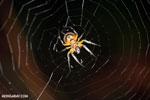 Spider [costa_rica_osa_0389]