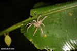 Spider [costa_rica_osa_0391]
