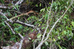 Brown basilisk [costa_rica_osa_0410]