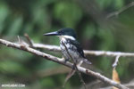 Female green kingfisher