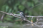 Female green kingfisher [costa_rica_osa_0428]