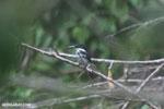 Female green kingfisher [costa_rica_osa_0431]