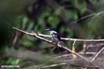 Female green kingfisher [costa_rica_osa_0432]