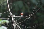 Male green kingfisher [costa_rica_osa_0450]