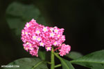 Pink flowers in the Costa Rican rainforest [costa_rica_osa_0453]