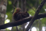 Squirrel [costa_rica_osa_0469]