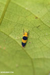 Orange and black leafhopper [costa_rica_osa_0479]